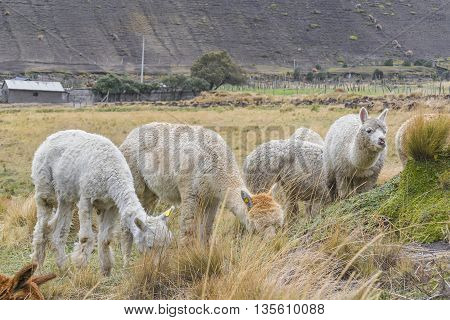 Andes Farm Animals Eating Pasture