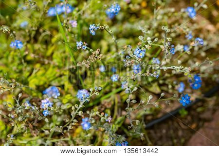 Blue flowers on a background of grass and other cornflowers in Germany
