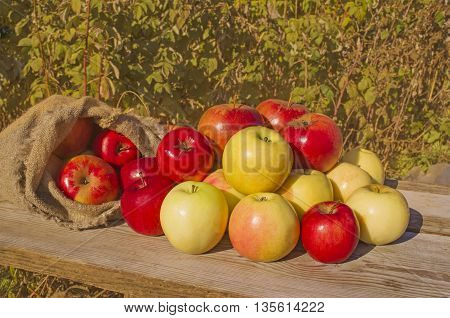 Fresh apples in nature. Fresh harvest of apples. Nature fruit concept. Apples on wooden table over autumn background