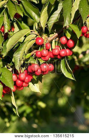 Farm Fresh Cherries Sweet Fruit Vine Cherry Tree Farm Agriculture