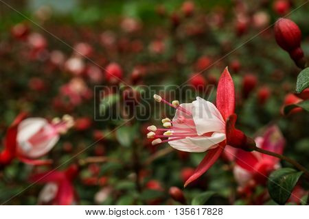 Beautiful Fuchsia Flower in the Garden. Focus on front flower.