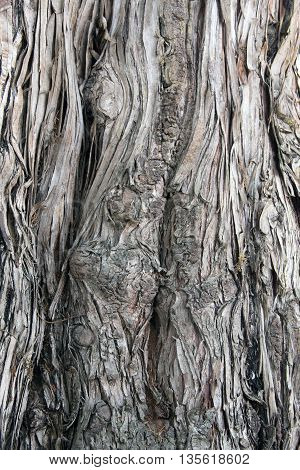 A wooden bark texture of old tree