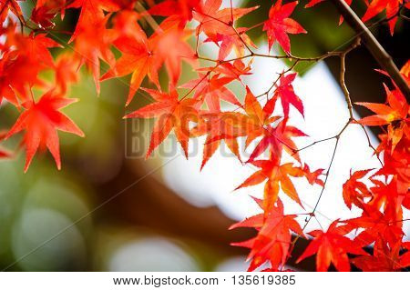 Autumnal Red Maple Leaves In Blurred Background