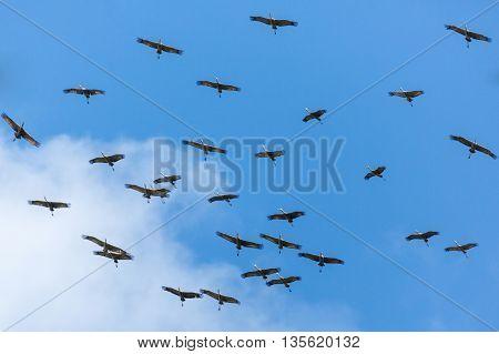 Sandhill Cranes soar through blue skies over Fairbanks Alaska