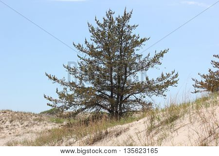 Tall confider tree stands proudly and anchors a sand dune in Ludington State Park, Michigan