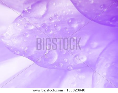 Dahlia flower petals with water drop beautiful abstract background