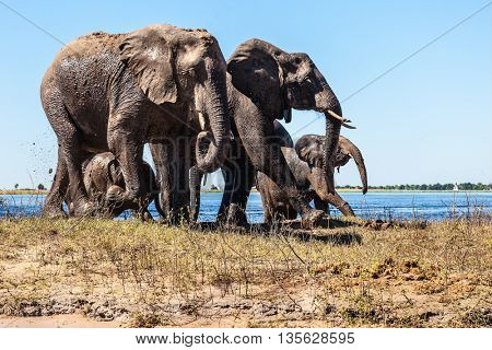 Family of elephants with two calves came to drink. Botswana Chobe National Park, the river Zambezi