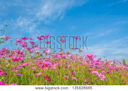 Image Of Group Of Purple Cosmos Flower In The Field.