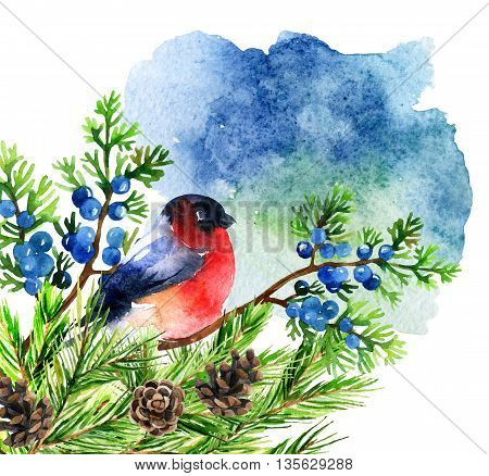 Watercolor bullfinch on juniper branch. Hand painted illustration