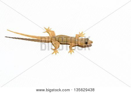close up Gecko Lizard on the white ceiling