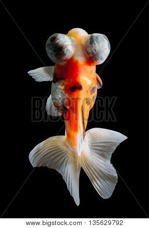 Top view Calico Telescope-eyes Goldfish isolated on black background. File contains a clipping path.