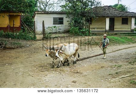Valle de los Ingenios Trinidad Cuba - January 14 2016: in the village next to Slave Tower Manaca Iznaga which is preserved from Cuba's past when slavery was legal a Man using oxen to haul railway sleepers.