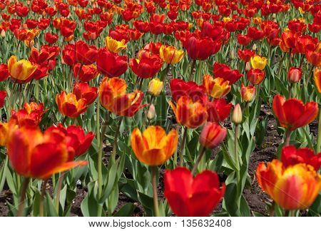 lawn with red and yellow tulips in town