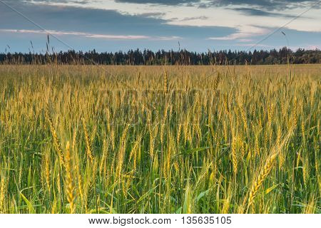 Dawn in a wheat field.  We can see the sunrise over the road in a wheat field near Kiev.
