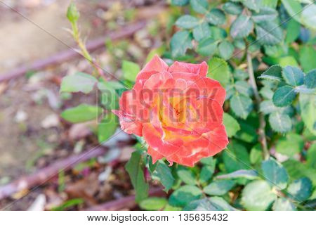 Orange mature rose on a blurred background