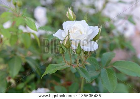 One Ripe White Rose With Buds