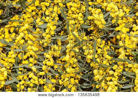 Bright background of a yellow mimosa flowers