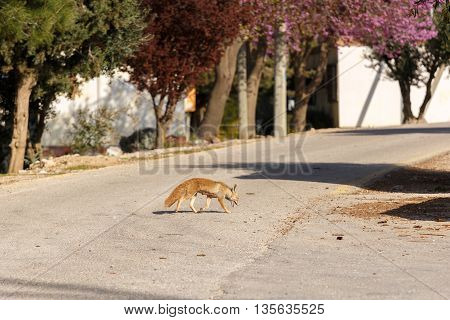 Fox Female Is Searched Of Food