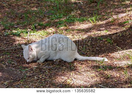 White Ailing Homeless Cat Eating From The Ground