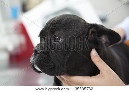 Closeup Of Vet Touching French Bulldog