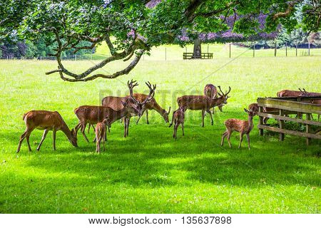 Great Britain Scotland Perthshire Blair Atholl deer in the Blair castle's garden.
