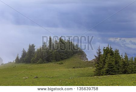 Green pine trees in fog after summer rain