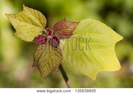 Close up of Oakleaf hydrangea young leaves in Spring