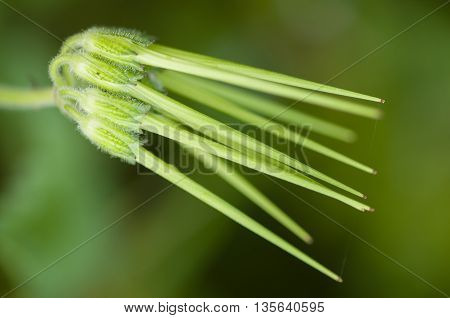 Fresh green long seeds of grass plant