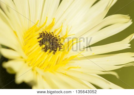 Close up of dandelion yellow flower Taraxacum officinalis
