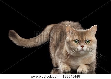 Furry British Cat Gold Chinchilla color with Green eyes Lying and Raising Tail, Isolated Black Background, Front view