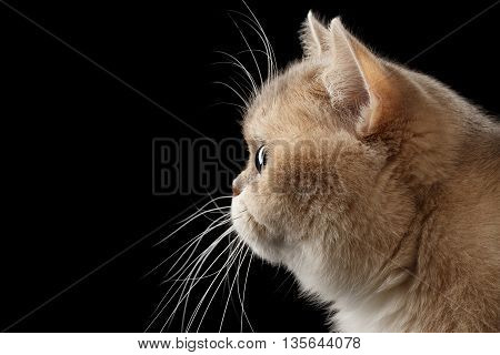 Close-up Portrait of Fat British Cat Gold Chinchilla color with Green eyes in Profile, Isolated Black Background