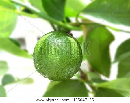 Lemon on tree background leaf and branch are blur