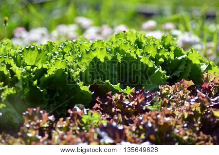 Fresh green lettuce salad leaves closeup. Salad texture.Green lettuce growing in vegetable garden.