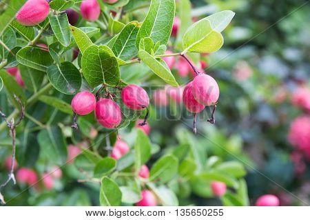 Karanda or Carunda fruit on the tree