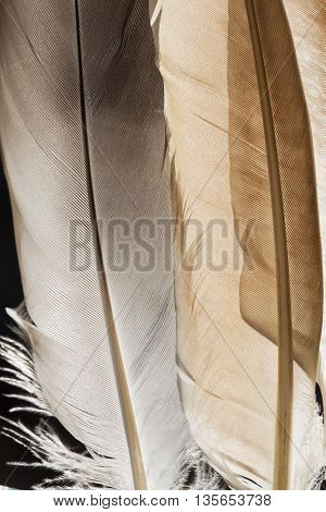 The transparent gray pigeon feathers close up