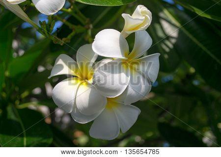 White plumeria on the plumeria tree, Frangipani tropical flowers,