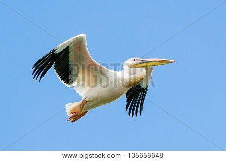 Pelican in flight at the Danube Delta Romania