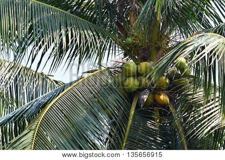coconut on the coconut plants tree on the coconut plantation