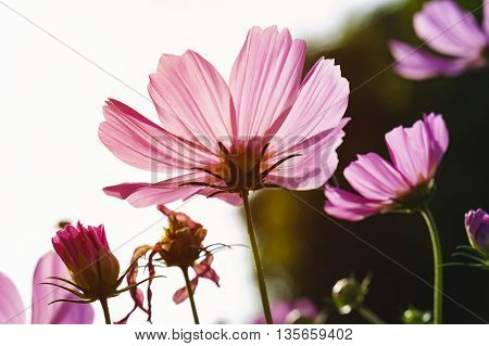 Pink cosmos flowers in morning. ** Note: Shallow depth of field