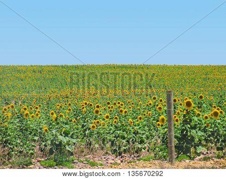 Field Of Sun Flowers, Eastern Cape South Africa