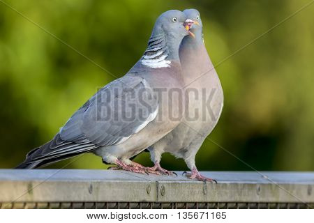 Two wood pigeons courting on a metal fence in the forest