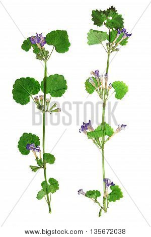 Pressed and dried flowers glechoma hederacea on stem with green leaves. Isolated on white background. For use in scrapbooking pressed floristry (oshibana) or herbarium.