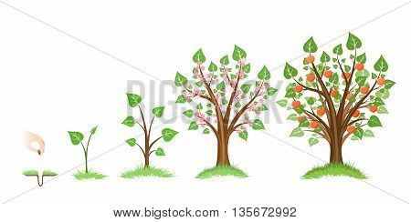 Apple tree growth cycle. Tree plant apple, cycle botanical, gardening growth fruit, natural apple, crop food, vector illustration