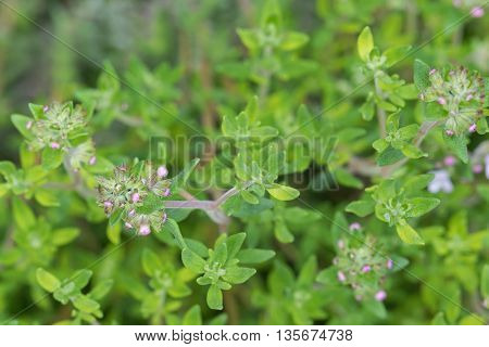 Selective focus of home grown Thyme with flowers blossoming during summer in the garden, Europe