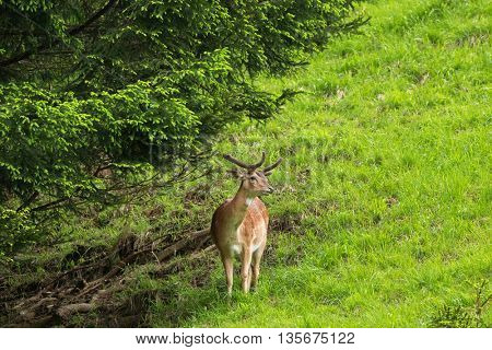 Male Red deer with new horn standing under pine tree in the forest during summer in Austria, Europe