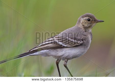 Portrait white wagtail young bird, summer day, the birds sit on watering