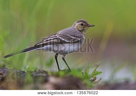 White wagtail young bird, summer, grenn background gray