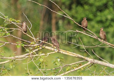 Young flock of starlings sitting in a tree, summer day, group of birds