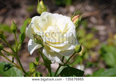 A white Rose blooming in the garden