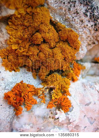 Zoomed beautiful Red lichen on the stone